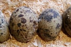 quail eggs 20180112_142005