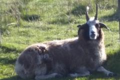 4-horned-ewe-meadow-keeping-20180516_083219