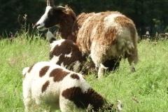 jacob-ewe-lambs-profile-pic-DSCF9283