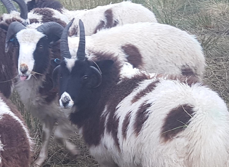 jacob-tup-lamb-2-horn-white-back-20191123_090142