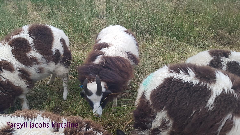 jacob-tup-lambs-4-horn-group-20191123_090305