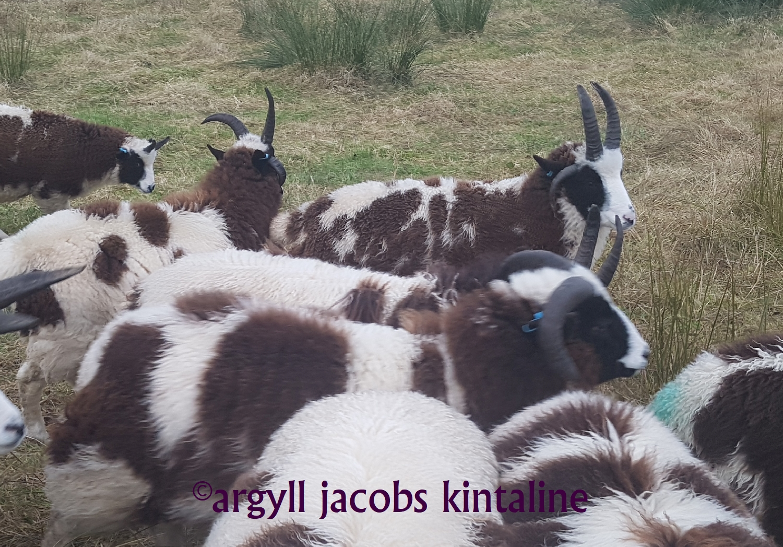 jacob-tup-lambs-mixed-20191123_090059