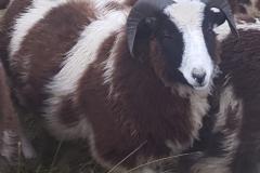 jacob-tup-lambs-2-horn-dark-20191123_090058