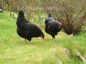 2 black rock hens in garden