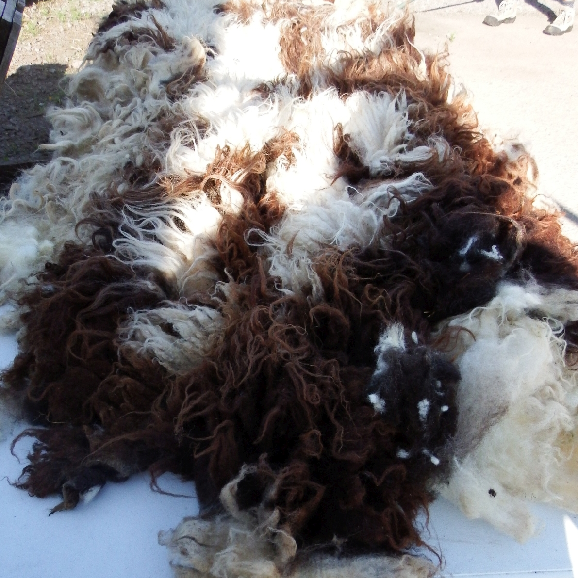 jacob sheep raw fleece for sale mail order