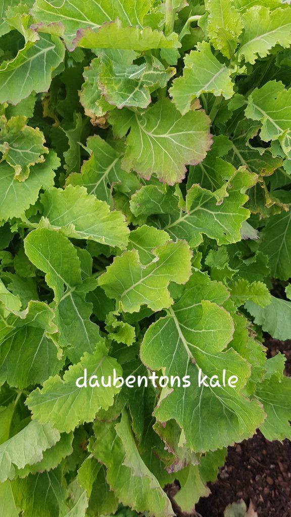 Daubentons kale cuttings for sale