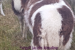 jacob-tup-lamb-2-horn-brown-back-20191123_090142