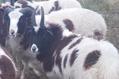 jacob-tup-lamb-2-horn-white-back-20191123_090142