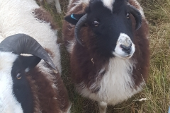 jacob-tup-lamb-4-horn-black-face-20191123_090122