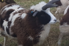 jacob-tup-lamb-4-horn-forward-20191123_090059