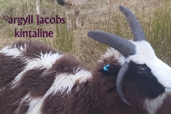 jacob-tup-lamb-4-horn-thik-horns-white-face-20191123_090136