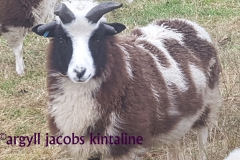jacob-tup-lambs-4-horn-and-front-facing-20191123_090109