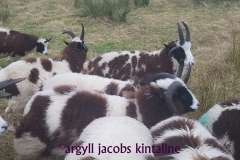 jacob-tup-lambs-mixed-20191123_090059