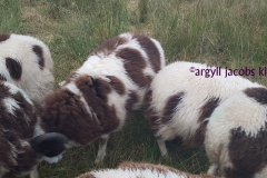 jacob-tup-lambs-mixed-20191123_090302