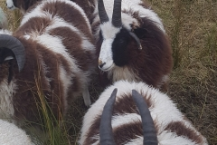jacob-tup-lambs-mixed-4-horn-facing-20191123_090128